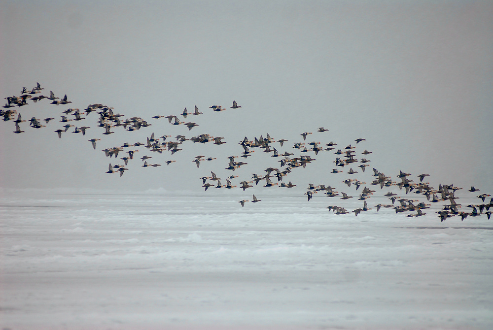 Barrow, Alaska. A big flock of King Eider ducks fly by a whaling camp where Patkotak crew is butcherin a whale.  May 2007.