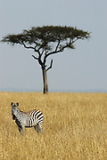 Lone zebra in front of acaia tree.