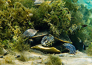 Coastal Plain Cooter (Florida Cooter)<br />