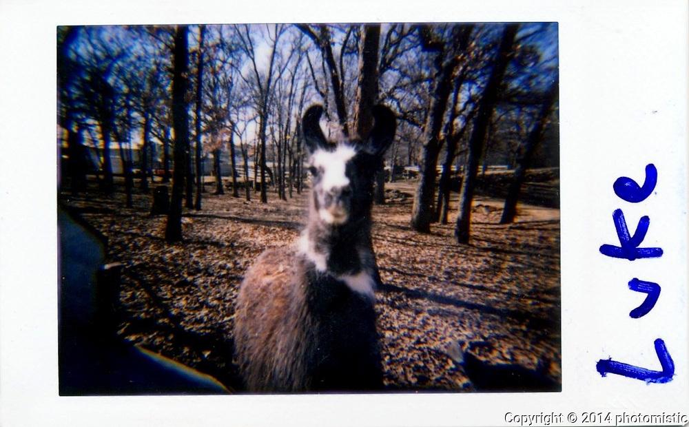 Luke the Llama