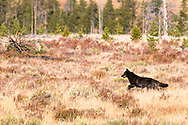 Black wolf on the hunt at Swan Flats in Yellowstone National Park