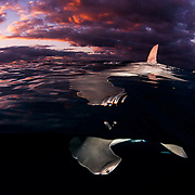 Great hammerhead shark with dorsal fin piercing the surface during sunset.
