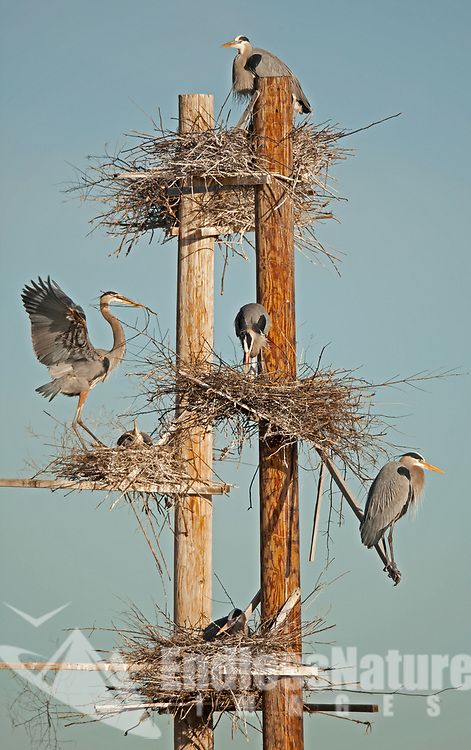 Farmington Bay Wildlife Management area in northern Utah places nesting platforms for the Great Blue Herons.