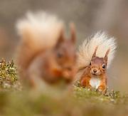 Red Squirrel (Sciurus vulgaris) encounter between two squirrels; in the Cairngorms National Park ,Scotland