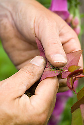 Removing greenfly from a rose with fingers