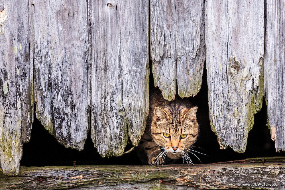 Stray cat coming out of a hole in the side of a barn in Avon on Hatteras Island, NC.