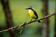 Great kiskadee on a branch. The great kiskadee (Pitangus sulphuratus) is a large tyrant flycatcher that is found from the Lower Rio Grande Valley in southern Texas and northern Mexico, south to Uruguay, Paraguay and central Argentina, as well as on the island of Trinidad. Photographed in Costa Rica