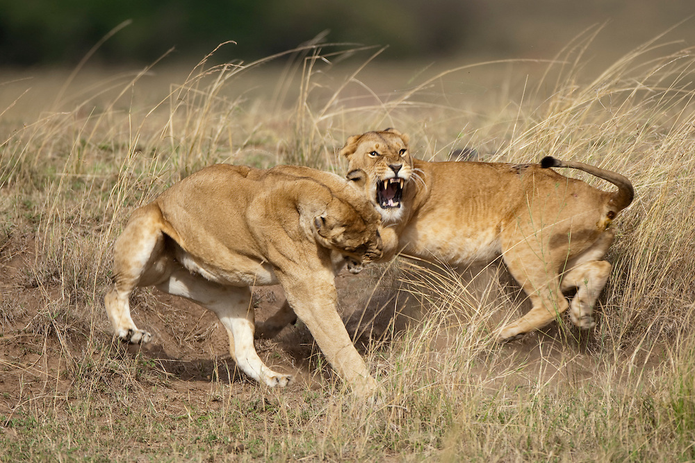 Africa, Kenya, Masai Mara Game Reserve, Two Lioness (Panthera leo) fighting in tall grass on savanna