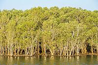 Mangrove Trees growing on the lake shore, iSimangaliso Wetland Park, KwaZulu Natal, South Africa,
