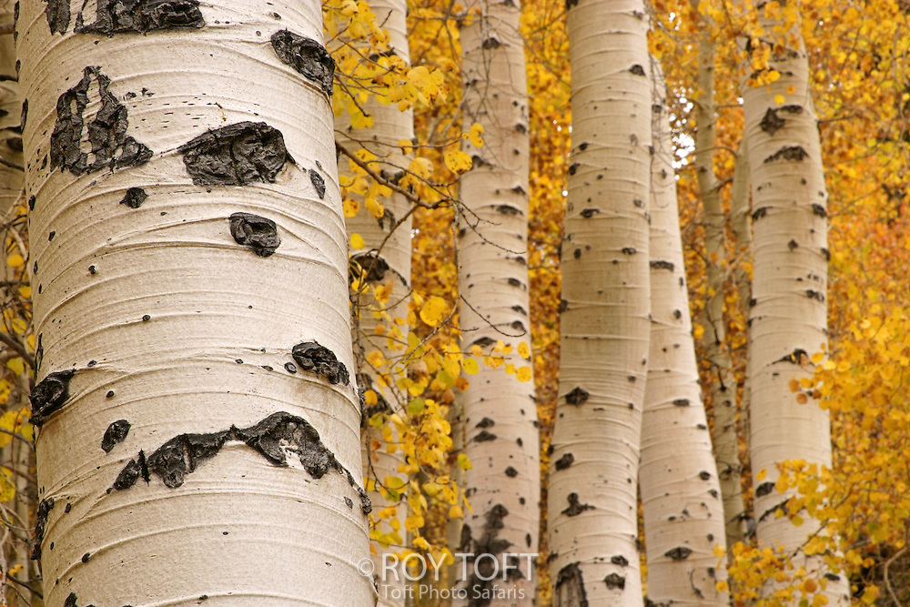 Aspen trees in autumn with yellow leaves.