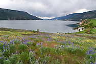 Lupines flowering in Kekuli Bay Provincial Park on Kalamalka Lake near Vernon, British Columbia, Canada