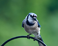 Blue Jay. Image taken with a Fuji X-T2 camera and 100-400 mm OIS telephoto zoom lens