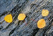 Tremling aspen leaves in autumn color on wet rock<br /> Rushing River Provincial Park<br /> Ontario<br /> Canada