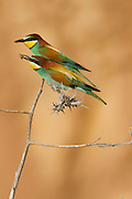 European Bee-eater (Merops apiaster) standing on a thornbush, sea of galilee, israel