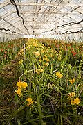 Freesias growing inside greenhouse, Guernsey Freesia Centre, St Sampson, Guernsey,
