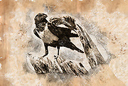 Digitally enhanced image of a Pied crow (Corvus albus). This crow is found in open country with scattered trees, where it feeds on insects, eggs, young birds, seeds and other plant matter. Photographed in the Sossusvlei sand dunes in the Namib desert Namibia Africa in July