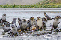 Antarctic fur seal pups hauled out on rocks in Jason Bay on South Georgia.