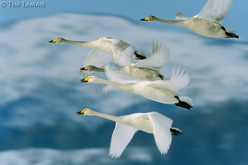 A group of whooper swans in flight.