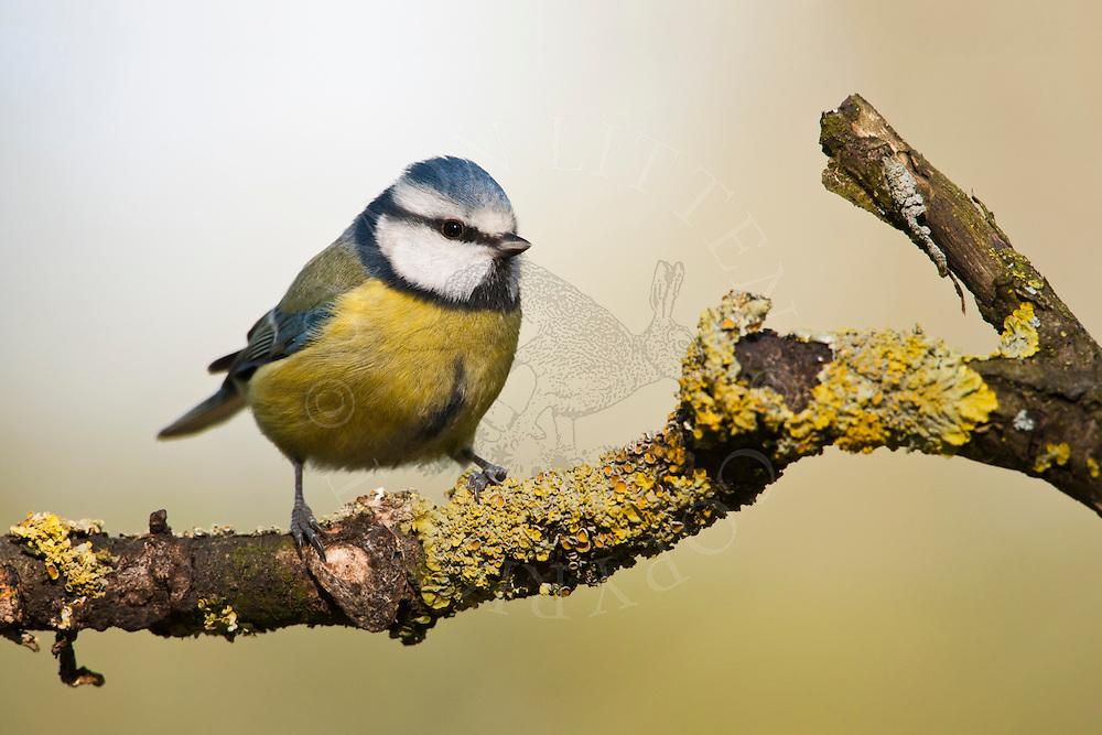 Blue Tit (Parus caeruleus) adult, perched on branch, UK