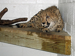 Sep 04, 2005; San Antonio, TX, USA; Sam, one of a pair of cheetahs brought to the San Antonio Zoo from a breeding facility in South Africa, is kept separate from his mate Olivia. The pair brought here to breed are expected to produce offspring in the near future.  Sunday September 4, 2005.  Mandatory Credit: Photo by Amanda Reimherr/San Antonio Express-News/ZUMA Press. (©) Copyright 2005 by San Antonio Express-News