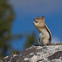 Golden-mantled ground squirrel. Beartooth Plateau, Wyoming.