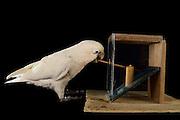 [captive] Goffin's cockatoo (Cacatua goffiniana). In this experiment, the cockatoo learns to use a tool. It needs to poke a treat (peanut) in a box using a stick until the treat falls out off the box. Handling of the stick requires coordination of foot and beak. Goffin's cockatoos or Tanimbar Corellas are endemic to the Tanimbar archipelago in Indonesia. Research on their cognitive abilities is done in the Goffin Lab (Lower Austria) by Dr. Alice M. I. Auersperg. Sequence 5/10. | Goffinkakadu (Cacatua goffiniana). In diesem Versuch muss der Goffinkakadu erlernen, mit einem Stock nach einer Belohnung (Erdnuss) zu stochern, um sie zum Rausfallen aus einer ansonsten unzugänglichen Box zu bringen. Die Handhabung des Stöckchens verlangt Koordination von Fuß und Schnabel. Der Kakadu lernt hierbei den Werkzeuggebrauch. Der Goffinkakadu ist eine Papageienart und kommt in freier Wildbahn ausschließlich auf der indonesischen Inselgruppe Tanimbar vor. Forschung zu kognitiven Fähigkeiten des Goffinkakadus wird im Goffin Lab (Niederösterreich) von Dr. Alice M. I. Auersperg durchgeführt. Sequenz 5/10.