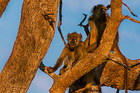 Baboons in tree, Kwando Concession, Linyanti Marshes, Botswana.