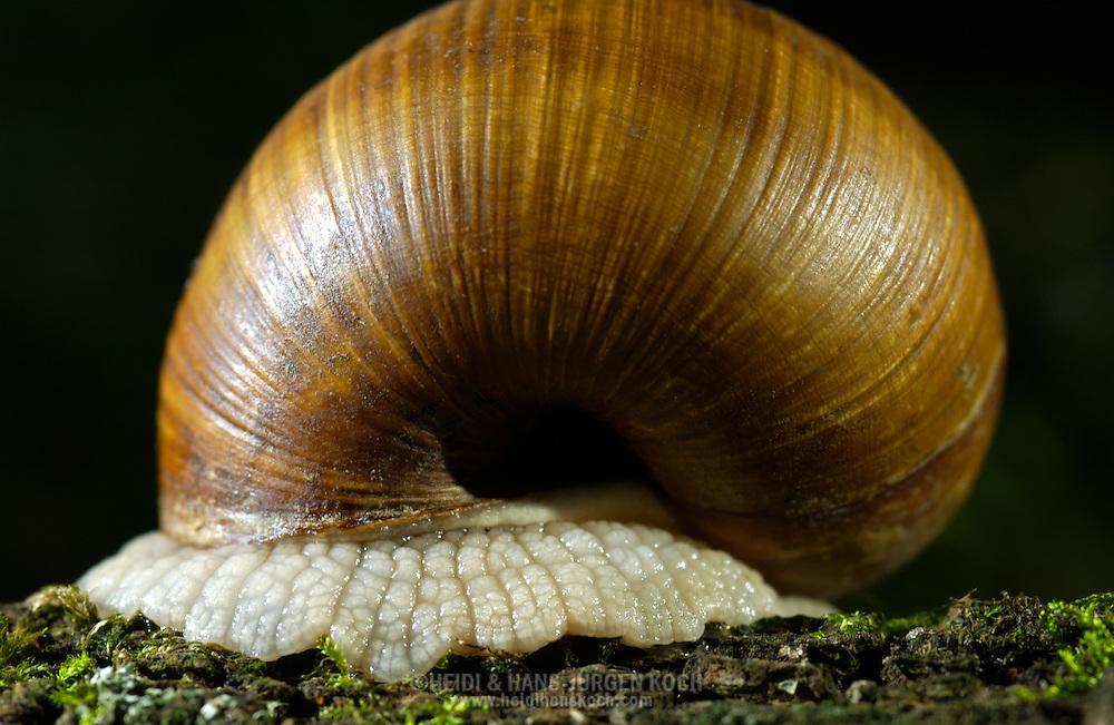 Deutschland, DEU, 2002: eine in ihr Schneckenhaus zurueckgezogene Weinbergschnecke (Helix pomatia), nur der Fuss ist noch sichtbar. | Germany, DEU, 2002: Edible snail (Helix pomatia) retracted in it's snail-shell, only the sole is visible. |
