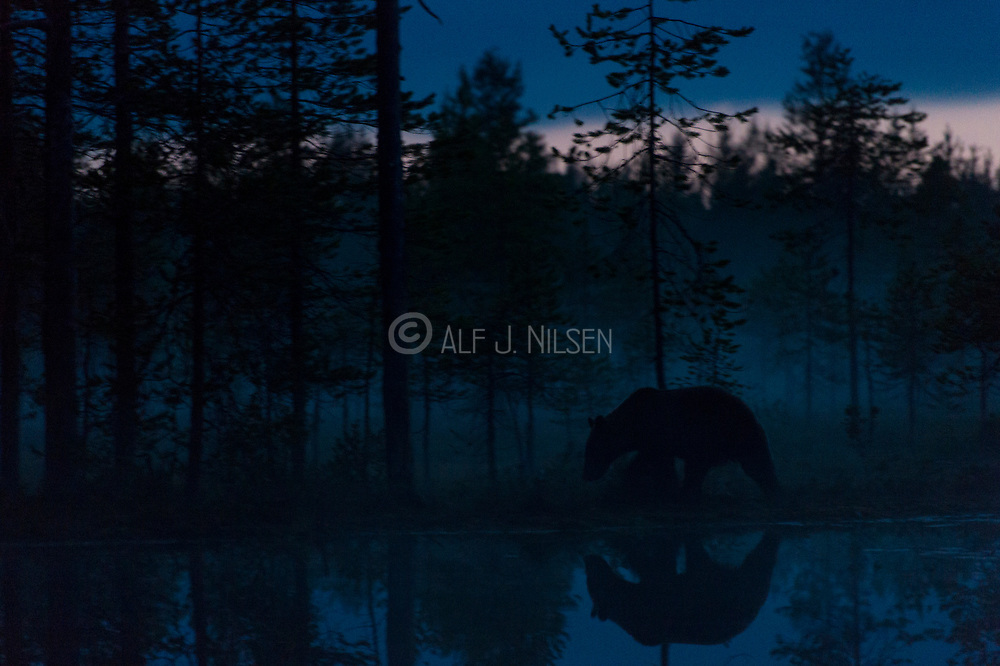 Midnight brown bear. Eastern Finland in August 2015.