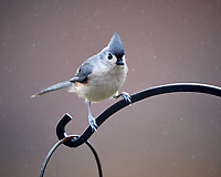 "Tufted ""Black-crested"" Titmouse at the Bird Feeder. Image taken with a Nikon D5 camera and 600 mm f/4 VR telephoto lens."
