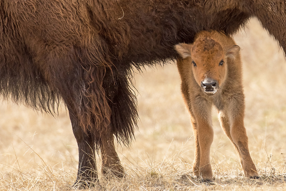 After a lengthy nursing session, this bison calf, snuggles up near its mother before taking a well deserved nap.