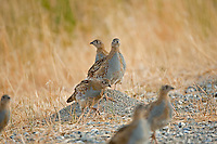 Immature Gray Partridge feeds on seeds along a roadside.