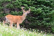 Black-tailed deer buck (Odocoileus hemionus columbianus) in a field of wildflowers, Pacific Northwest