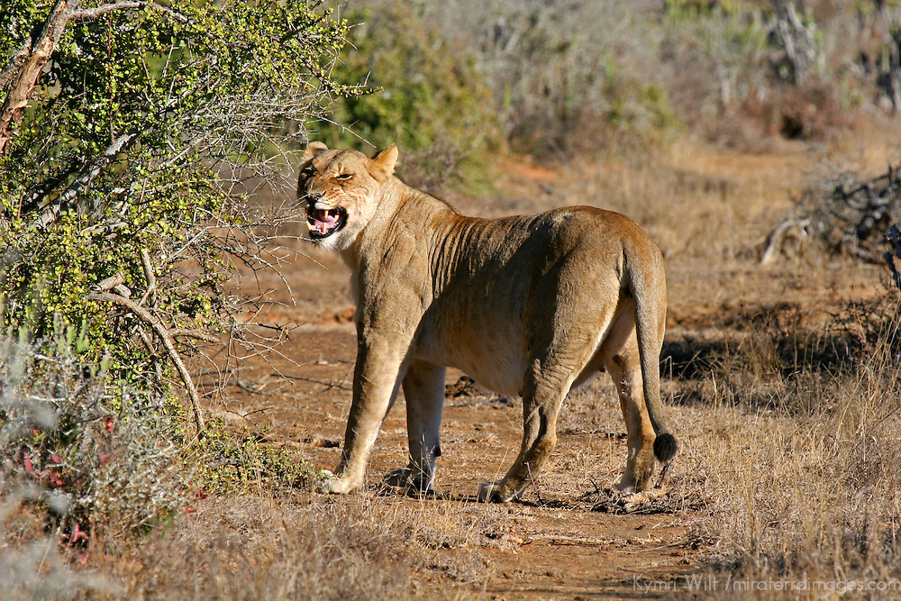 Africa, South Africa, Kwandwe. A pregnant lioness picks up a scent in Kwandwe game Reserve.