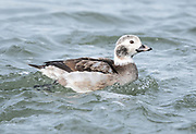Love the feather detail of this immature male Long-tailed Duck in a transition molt.  Indian River Inlet