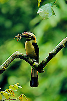 Visayan Tarictic Hornbill (Penelopides panini panani) perched on a tree branch holding a insect (apparently a large cricket) in the forest of Panay Island, Philippines.