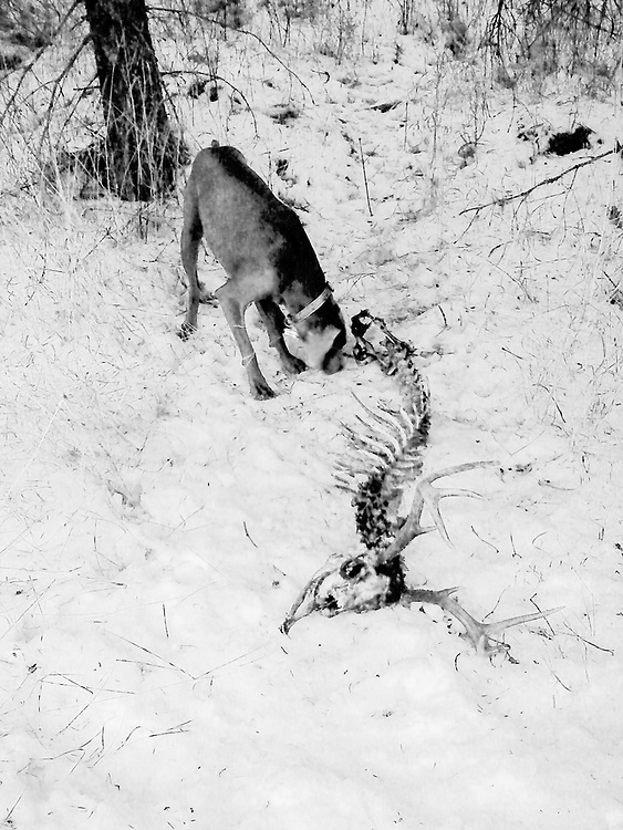 Sugar sniffing dead dear bones in the snow
