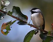 Image of a chickadee