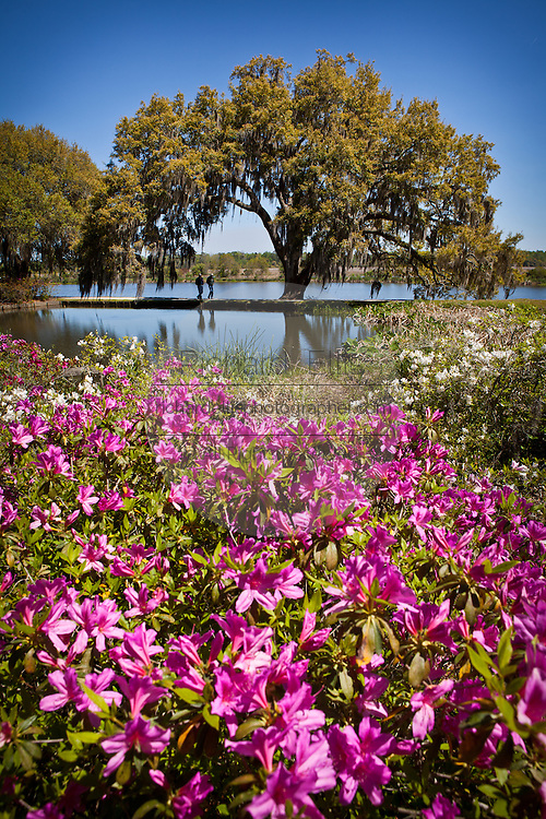 Azaleas and live oak tree at Middleton Place Plantation in Charleston, SC. Middleton Place Garden is the oldest formal garden in the United States, dating back to around 1741.