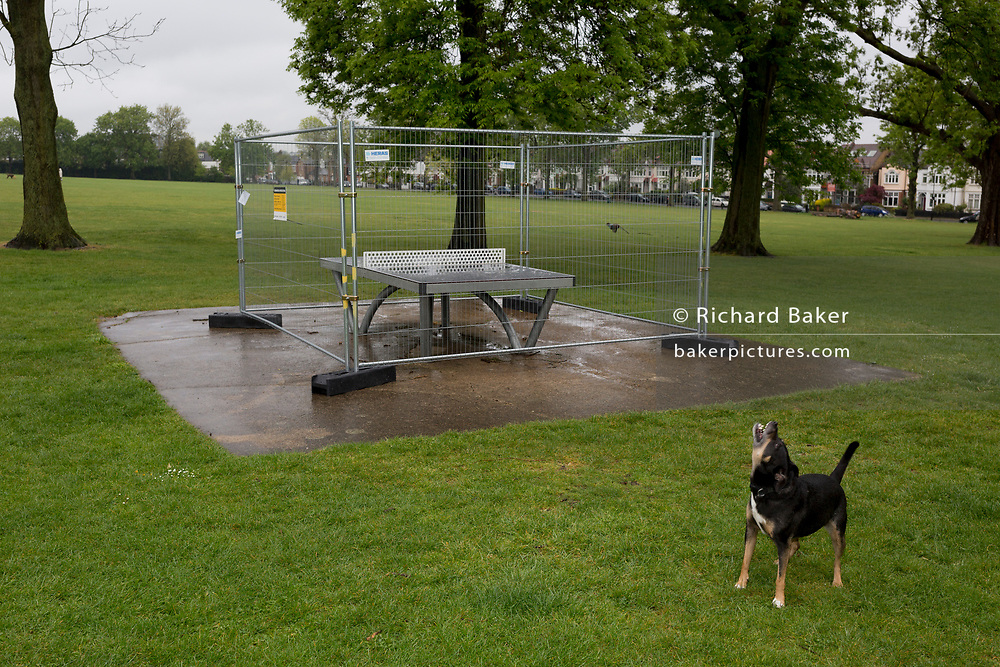 As the UK's Coronavirus pandemic lockdown continues into its 5th week, and UK deaths from Covid-19 reached 21,678 - a daily rise of 586, a dog barks in a deserted Ruskin Park in Lambeth, where until now, this green space in south London has been busy with those exercising according to social distance requirements, on 28th April 2020, in London, England.