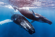 A mother and calf pair of humpback whales swim in clear blue water of the Silver Bank, Dominican Republic