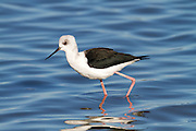 The Black-winged Stilt, Common Stilt, or Pied Stilt (Himantopus himantopus) is a widely distributed very long-legged wading bird. It is one of breeding species found at the Miranda Shorebird Centre on the Firth of Thames, Waikato, New Zealand