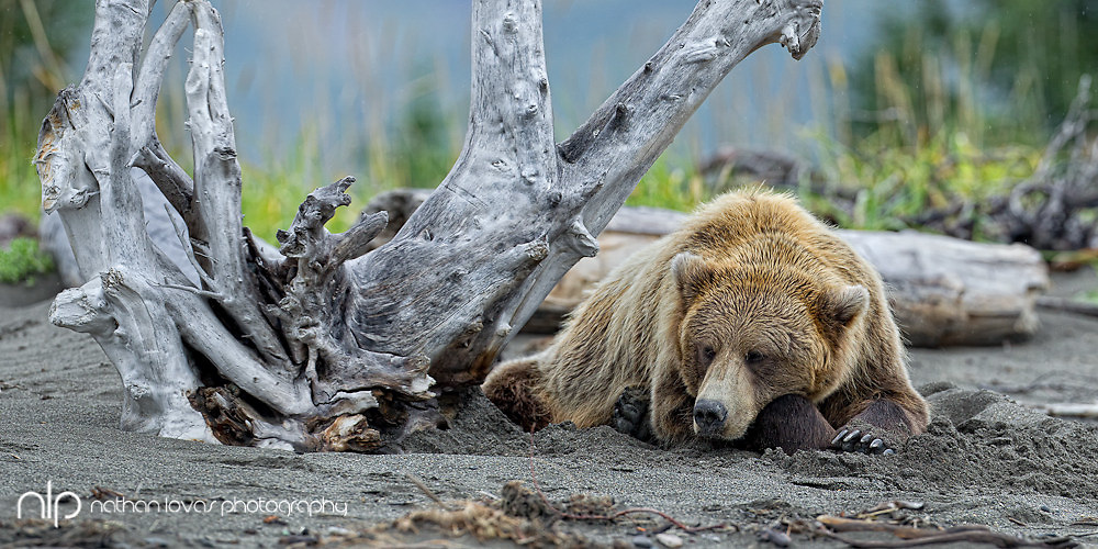 Brown bear lying on beach under drift wood;  Lake Clark NP, Alaska in wild.