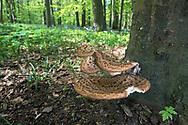 Dryad's Saddle - Polyporus squamosus, Stoke Wood, Bicester, Oxfordshire