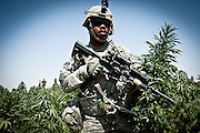 An American soldier walks through a field of marijuana plants in Zhari District, Kandahar Province.