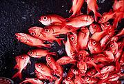 Menpache red  fish, Hawaii