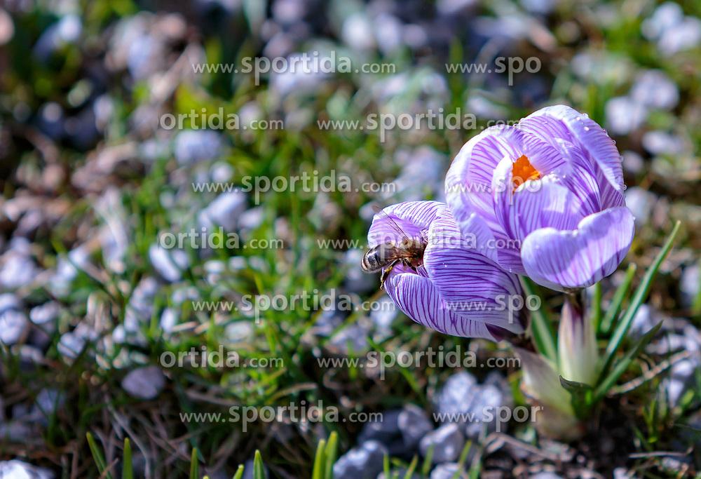 THEMENBILD - eine Biene sitzt in einer Krokusblüte (Iridaceae), aufgenommen am 13. März 2018, Piesendorf, Österreich // a bee sits in a crocus blossom (Iridaceae) on 2018/03/13, Piesendorf, Austria. EXPA Pictures © 2018, PhotoCredit: EXPA/ Stefanie Oberhauser, Piesendorf, Austria. EXPA Pictures © 2018, PhotoCredit: EXPA/ Stefanie Oberhauser