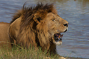 Male lion resting by a waterhole