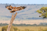 Kenya - Maasai Mara - Tawny Eagle - Aquila rapax - I have predicted the eagle would land somewhere when I saw her dropping from behind the vehicle, then the dead tree trunk looked auspiscious and there it landed.