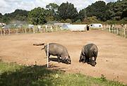 Black pigs in field of smallholding farm, Shottisham, Suffolk, England, UK